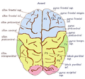 Superieur gyrus.png