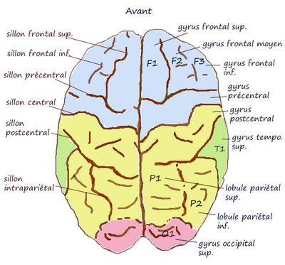 ILLUSTRATION : Partie supérieure du lobule pariétal (Source : Wikipédia)