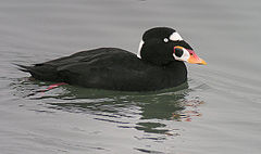Surf Scoter - Arrowhead Marsh Oakland CA.jpg