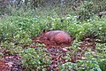 Sus scrofa - Wild boar during Periyar butterfly survey at Sabarimala, 2014 (39).jpg
