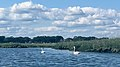 Swans at high tide in Charles E. Wheeler WMA - zoom.jpg