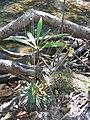 Sweet Eriocaulaceae (4795030116).jpg