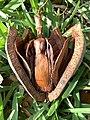 Swietenia mahagoni (West Indian mahogany)— woody capsule containing numerous winged seeds 01.jpg