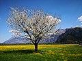 Switzerland Spring blooming fruit tree on grasland with mountains.jpg