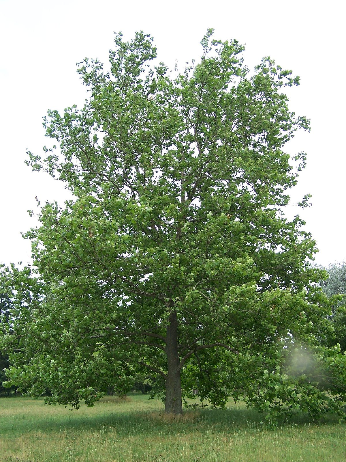 Platanus Occidentalis Wikipedia