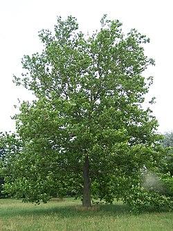 Sycamore Platanus occidentalis.jpg