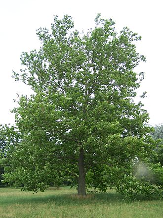 Platanus occidentalis - A young American sycamore