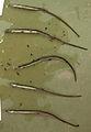 Syngnathus abaster.jpg