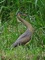 Syrigma sibilatrix Garza silbadora Whistling Heron (16808081729).jpg