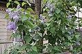 Syringa vulgaris in Minsk 05.jpg