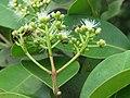 Syzygium caryophyllatum - South Indian Plum at Mayyil (3).jpg