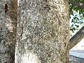 Syzygium cumini-Bark.JPG