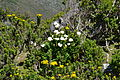 Table Mountain Cape Town 048.jpg