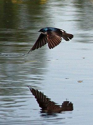 Union Bay Natural Area - Tree swallow (Tachycineta bicolor) over the south pond