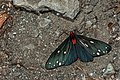 Taicallimorpha albipuncta (33522666445).jpg