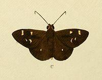 Talides sergestus Cramer&Stoll-uitlandsche kapellen vol. 1- plate 074.jpg