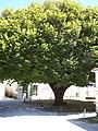 Talmont-sur-Gironde Tilleul01.jpg