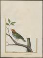Tangara gyrola - 1700-1880 - Print - Iconographia Zoologica - Special Collections University of Amsterdam - UBA01 IZ15900319.tif