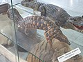 Taxidermied Pangolin, held by Polish customs authorities, Warsaw Chopin Airport, April, 2019.jpg