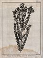 Tea plant (Leptospermum); flowering stem. Engraving by B. Di Wellcome V0043188.jpg