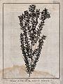 Tea plant (Leptospermum); flowering stem. Engraving by B. Di Wellcome V0043188.jpg