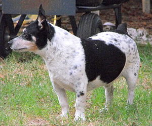 Teddy Roosevelt Terrier - Adult Male Teddy Roosevelt Terrier