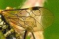 Tenthredopsis.sordida9.-.lindsey.jpg