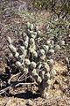 Tephrocactus articulatus Serezuela.jpg