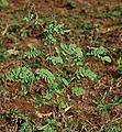 Tephrosia purpurea (Wild Indigo) in Narshapur, AP W IMG 0769.jpg