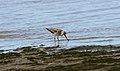 Terek Sandpiper (Xenus cinereus) (31359960505).jpg