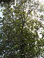 Terminalia bellirica (Bastard myrobalan) leaves in RDA, Bogra 02.jpg