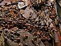 Termites (Nasutitermes sp.) (8439860069).jpg