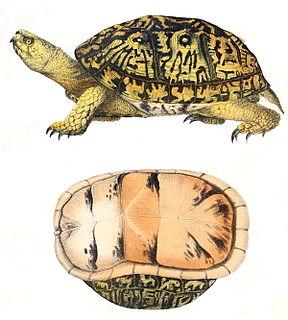 Common box turtle species of reptile