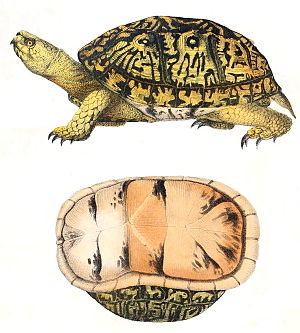 Common box turtle - Common box turtle, 1842 drawing
