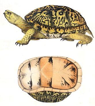 Common box turtle - Common box turtle, 1842 drawing