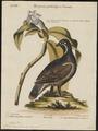 Tetrao canadensis - 1700-1880 - Print - Iconographia Zoologica - Special Collections University of Amsterdam - UBA01 IZ17100353.tif