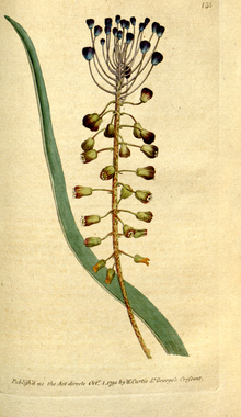 The Botanical Magazine, Plate 133 (Volume 4, 1791).png