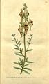 The Botanical Magazine, Plate 74 (Volume 3, 1790).png