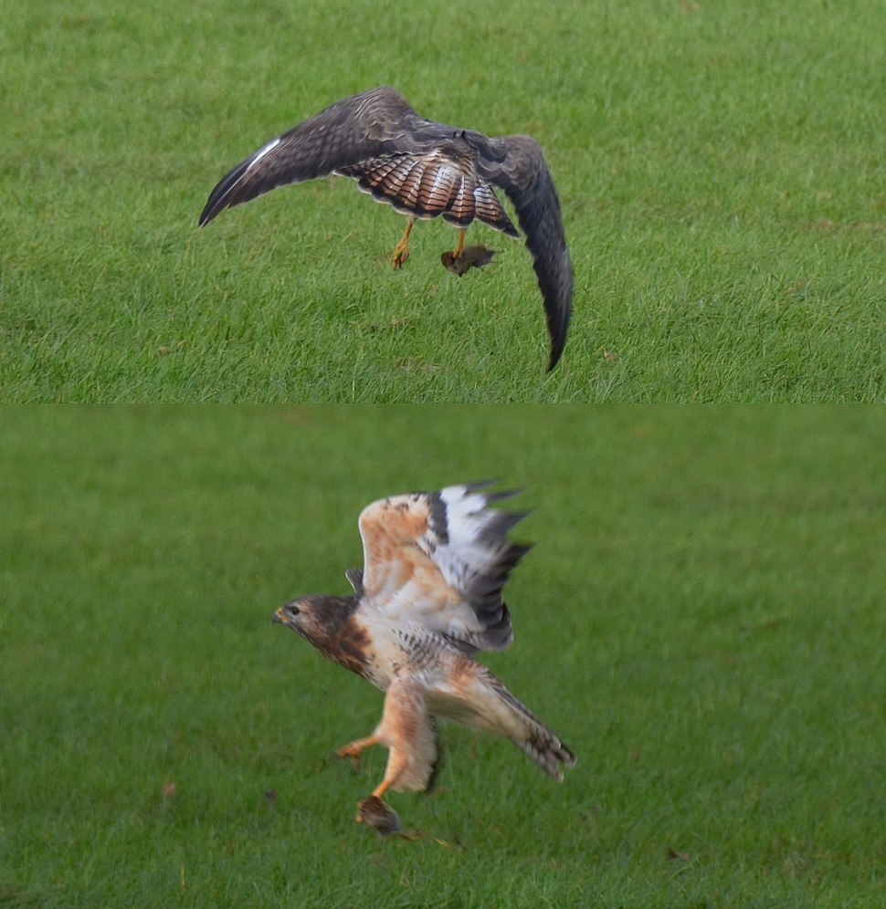 The Buzzard catched a mouse and flies away with his majestic wings - panoramio