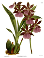 The Orchid Album-02-0009-0050-Zygopetalum clayii.png