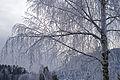 The birch tree (5244938982).jpg