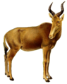 The book of antelopes (1894) Bubalis busephalus white backround.png