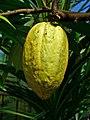 Theobroma cacao 005.JPG