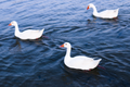 Three Emden geese swimming in the Al Qudra Lake.png