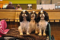 Three King Charles Spaniels.jpg
