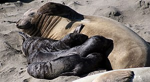 Three Northern Elephant Seals pups are nursing...