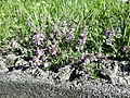 Thymus odoratissimus sl25.jpg