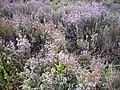 Thymus vulgaris Habitus 2010 5 09 DehesaBoyaldePuertollano.jpg
