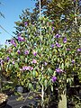 Tibouchina Granulosa (Purple Glory Tree) (28608597120).jpg