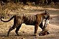 Tigress at Ranthambhore National Park, Rajasthan,India.jpg